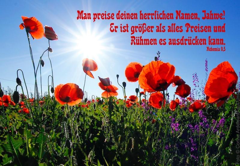 Mohnblumen in der Sonne