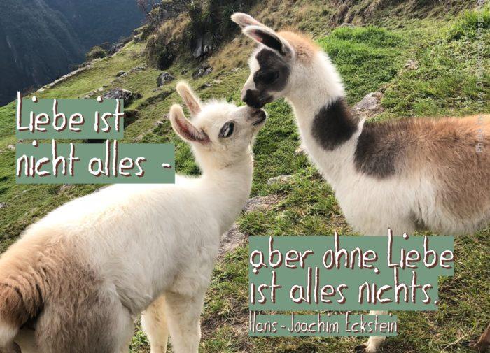 Zwei junge Lamas reiben die Nasen aneinander