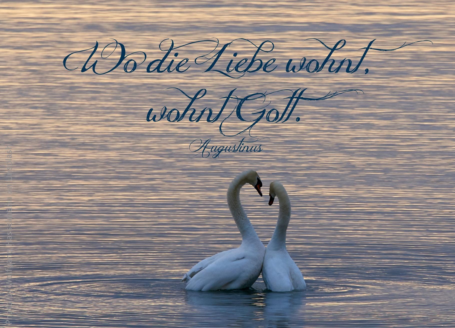 Schwanenpaar balzt auf einem See
