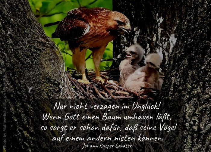 Adler mit Küken im Nest